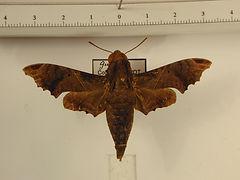 Enyo lugubris lugubris mâle