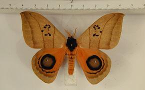 Automeris curvilinea mâle