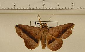 Epidromia poaphiloides mâle