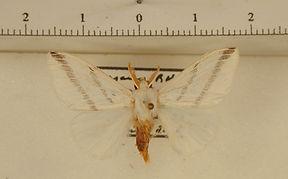 Lymantriidae sp1 mâle
