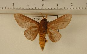 Thoscora pellucida mâle