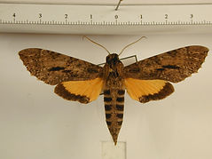 Isognathus scyron mâle