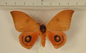 Automeris cinctistriga mâle