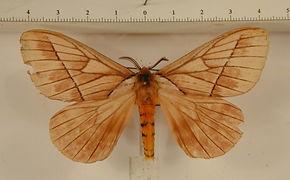Pseudodirphia reguyana mâle