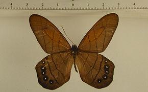 Pierella lamia mâle