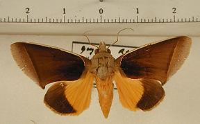 Gonodonta syrna mâle