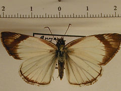 Heliopetes petrus mâle