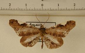 Macrosoma hedylaria mâle
