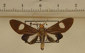 Glaucostola guttipalpis mâle
