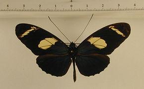 Heliconius wallacei flavescens mâle