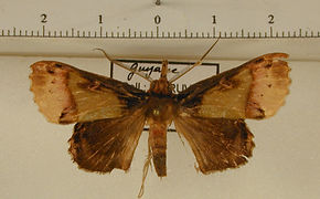 Ceroctena amynta mâle
