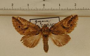 Rifargia xylinoides mâle