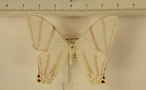 Therinia diffissa fortis mâle
