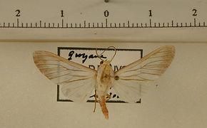 Robinsonia mossi mâle