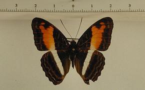 Adelpha cocala cocala mâle
