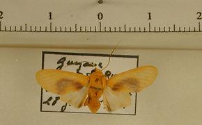 Regobarrosia flavescens mâle