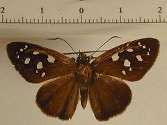 Hyalothyrus nitocris mâle