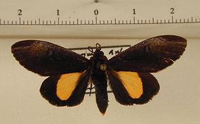 Aucula azecsa mâle