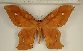 Arsenura ponderosa guianensis mâle