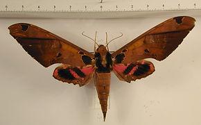 Adhemarius roessleri mâle