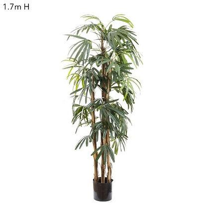 1.7mt Rhaphis Palm Tree Thin Leaf DBRP5443