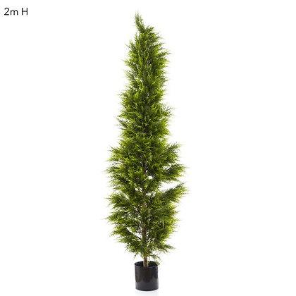 2mt Cypress Pine  DBCP61650