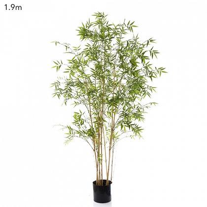 Oriental Bamboo Tree 1.9mts