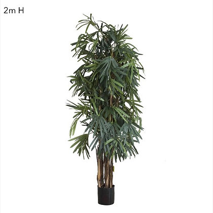 2mt Rhaphis Palm Tree Thin Leaf DBRP61003