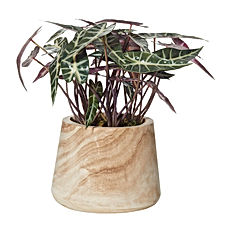 Alocasia Plant in Dansk Pot 36cm AU71.57