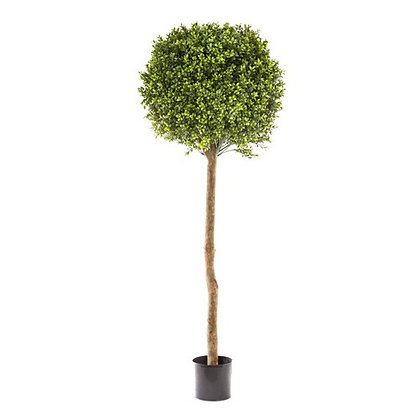 1.5mt Boxwood Ball Tree DBBB152736