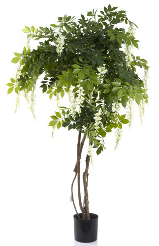 Wisteria Tree 1.8mts