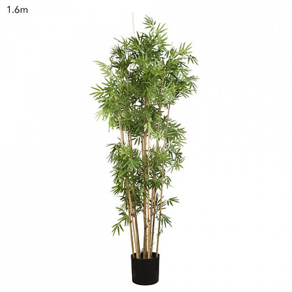 Japanese Bamboo Tree 1.6mts