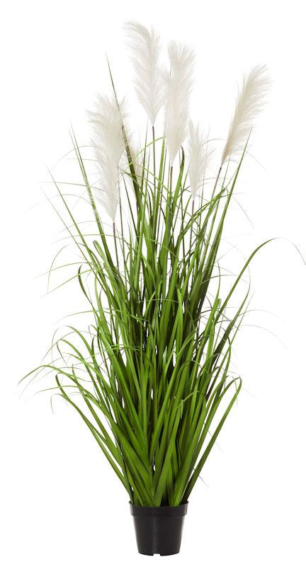 Pampas Grass 150cm