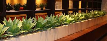 Agaves in feature pots