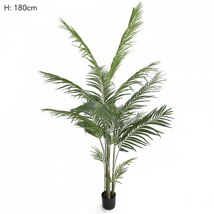 Areca Palm 1.8mts