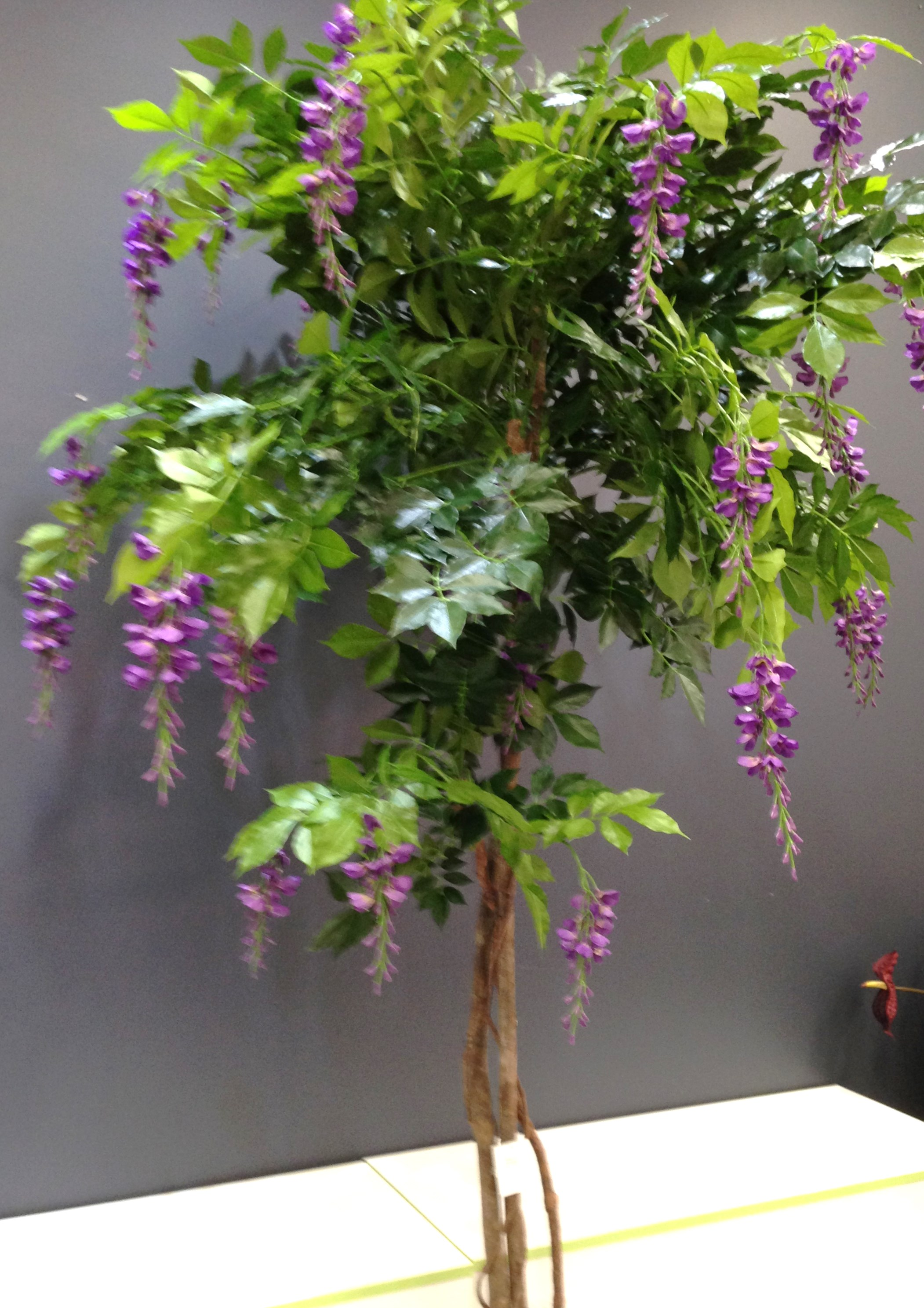 Purple Wisteria Tree