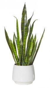 Sanseveria 65cm