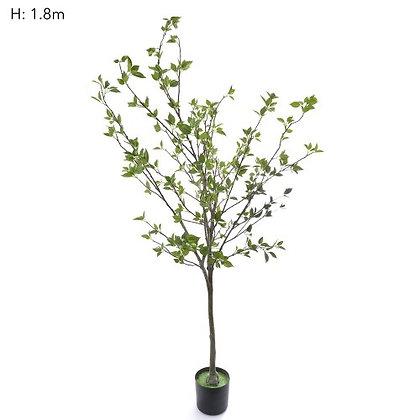 1.8mt Ailanthus Altissima Tree -  T113FB