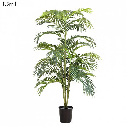 Areca Palm 1.5mts