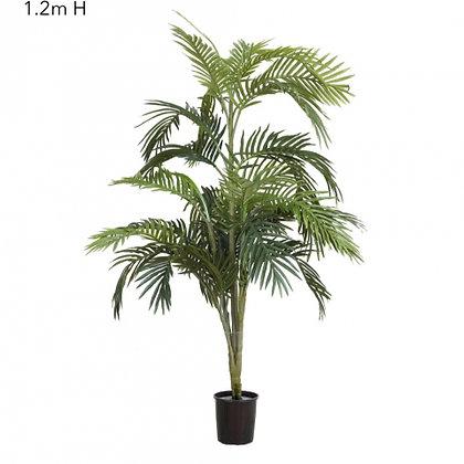 Areca Palm 1.2mts