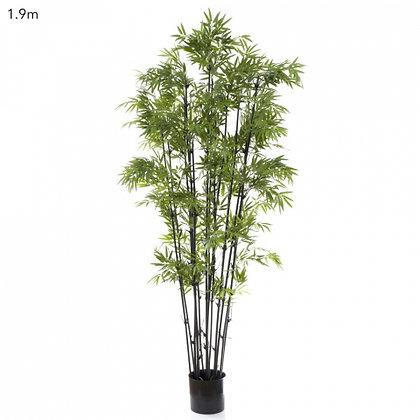 Japanese Bamboo Tree Black Trunk 1.9mts