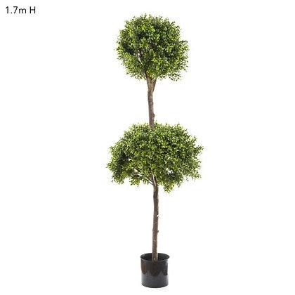 1.7mt Double Boxwood Tall Tree DBBDB52700