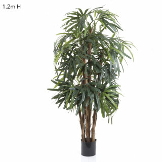 Rhaphis Palm 1.2mts