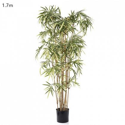 Royal Bamboo Varigated 1.7mts