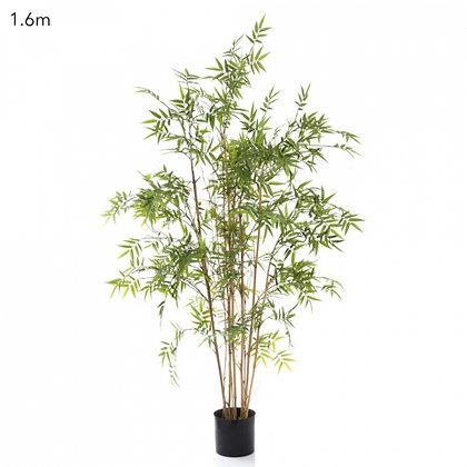 Oriental Bamboo Tree 1.6mts