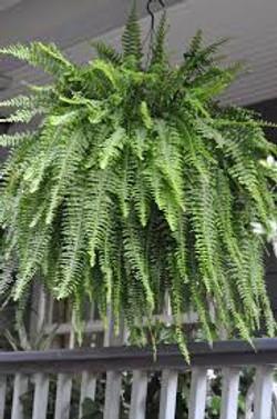 Hanging Basket with ferns