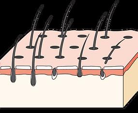 頭髮 2 - 3 星期至 2 - 3 個月生長週期