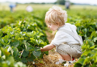young child picking strawberries