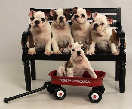 socalbulldogs