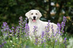 beautiful golden retriever dog posing outdoors in summer